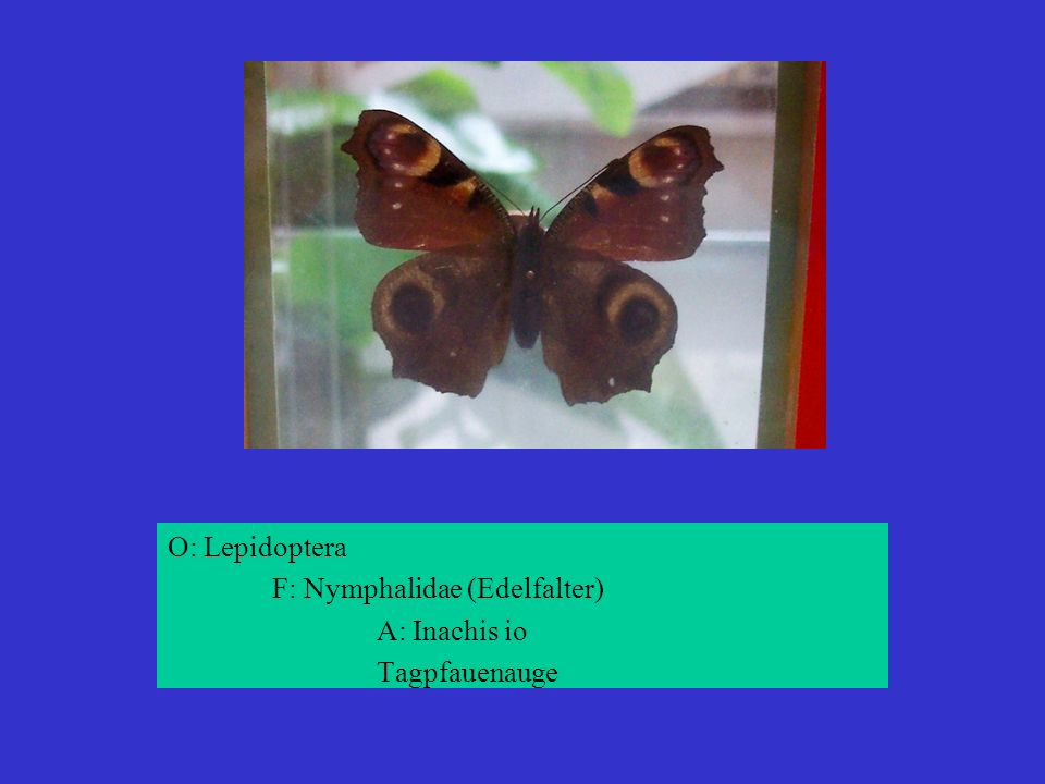 O: Lepidoptera F: Nymphalidae (Edelfalter) A: Inachis io Tagpfauenauge