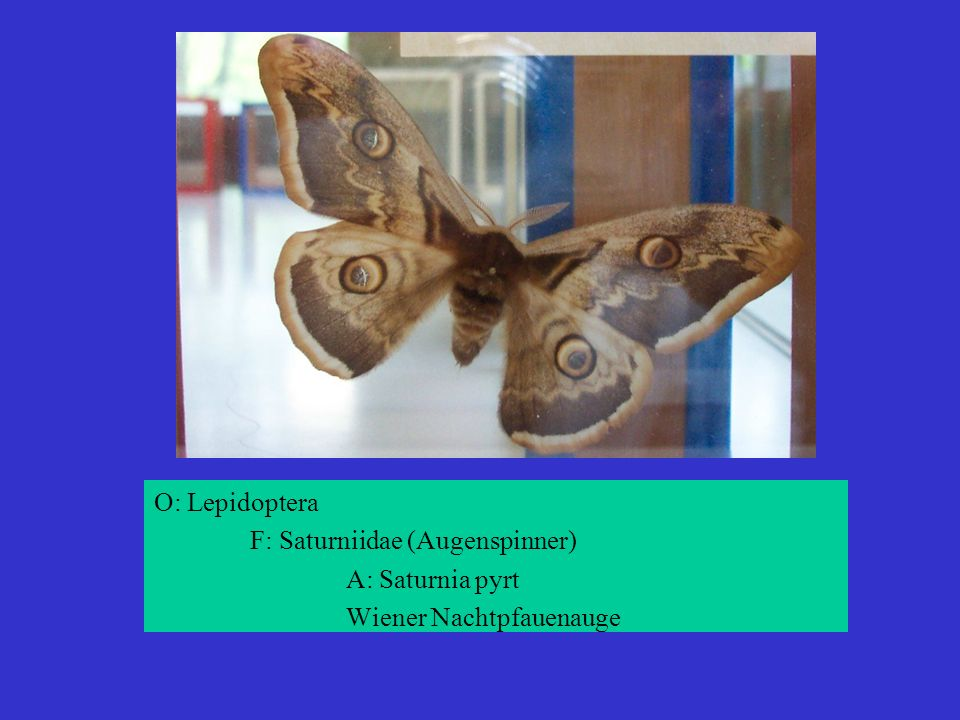 O: Lepidoptera F: Saturniidae (Augenspinner) A: Saturnia pyrt Wiener Nachtpfauenauge