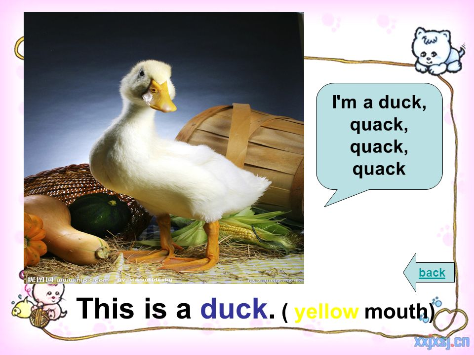 This is a duck. ( yellow mouth) back I m a duck, quack, quack, quack