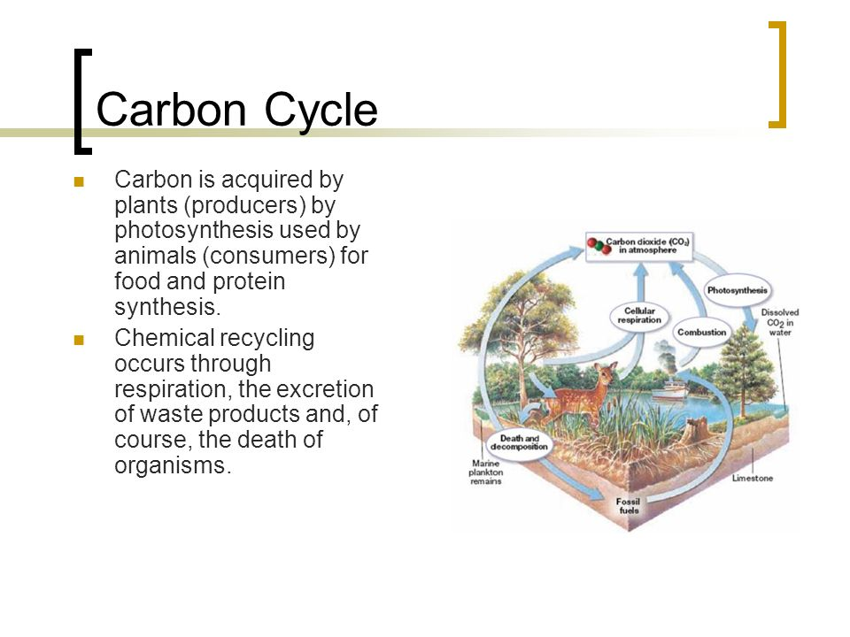 Carbon Cycle Carbon is acquired by plants (producers) by photosynthesis used by animals (consumers) for food and protein synthesis.
