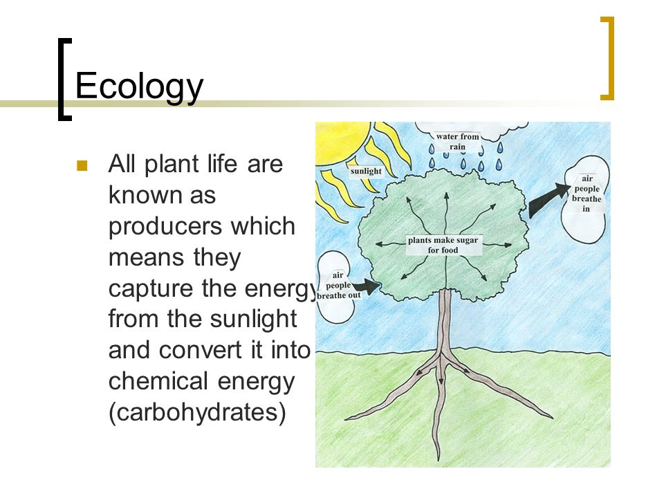Ecology All plant life are known as producers which means they capture the energy from the sunlight and convert it into chemical energy (carbohydrates)