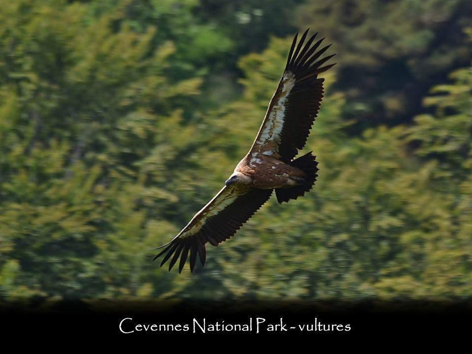 Cevennes National Park - vultures