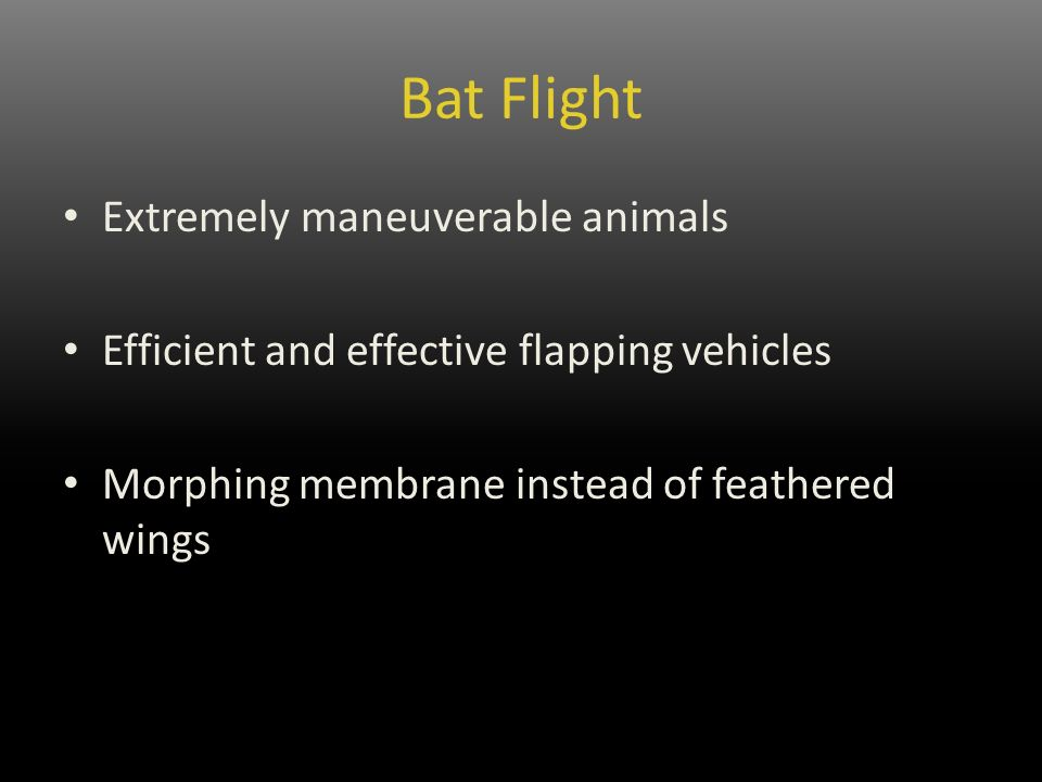 Bat Flight Extremely maneuverable animals Efficient and effective flapping vehicles Morphing membrane instead of feathered wings