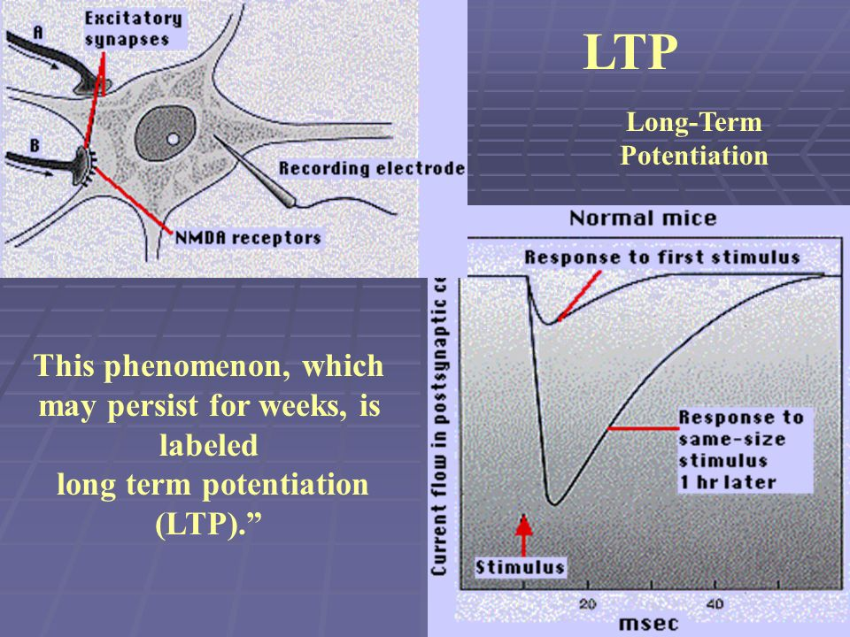 Long-Term Potentiation LTP This phenomenon, which may persist for weeks, is labeled long term potentiation (LTP).