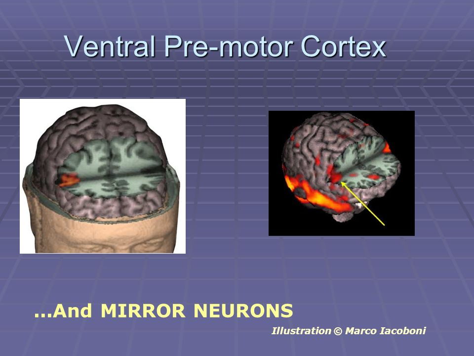 Ventral Pre-motor Cortex...And MIRROR NEURONS Illustration © Marco Iacoboni
