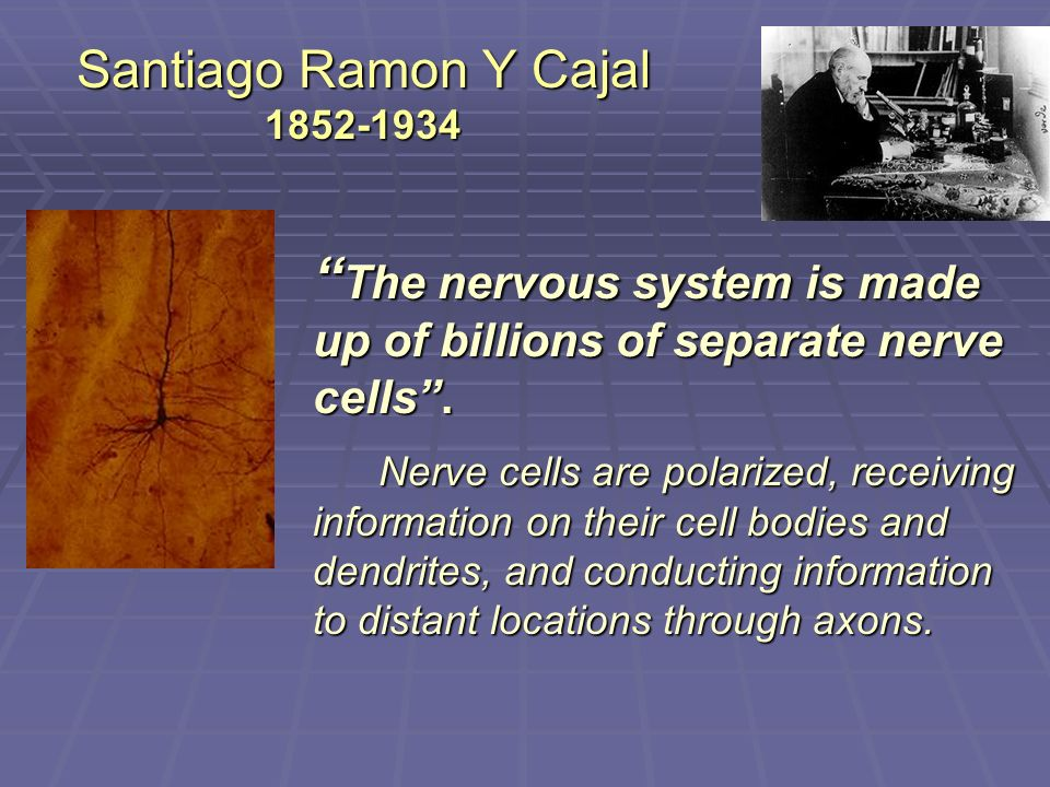 Santiago Ramon Y Cajal 1852-1934 The nervous system is made up of billions of separate nerve cells.