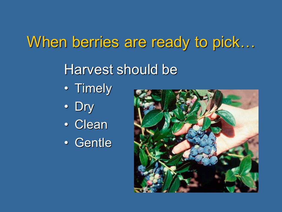 When berries are ready to pick… Harvest should be TimelyTimely DryDry CleanClean GentleGentle