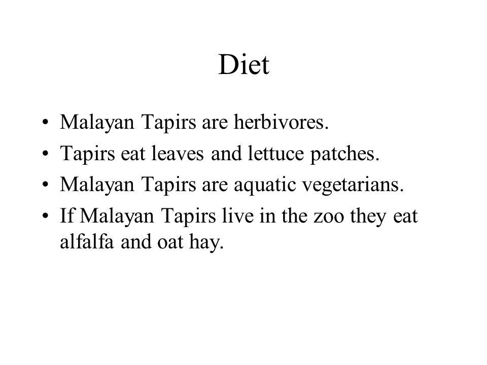 Diet Malayan Tapirs are herbivores. Tapirs eat leaves and lettuce patches.