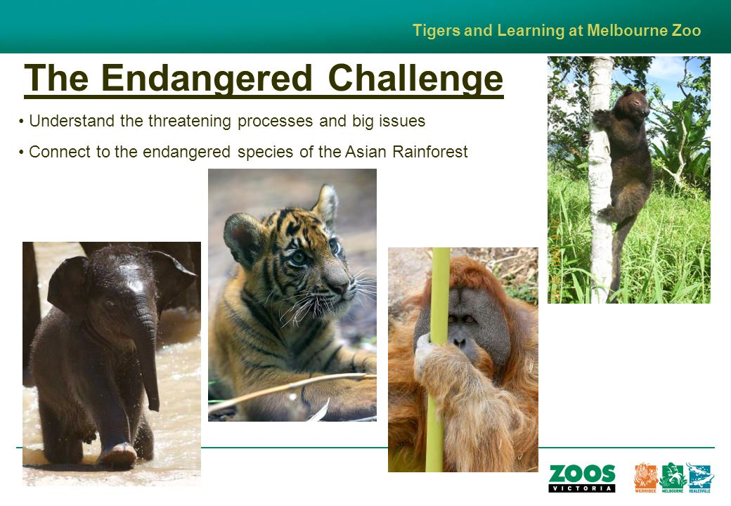 The Endangered Challenge Tigers and Learning at Melbourne Zoo Understand the threatening processes and big issues Connect to the endangered species of the Asian Rainforest