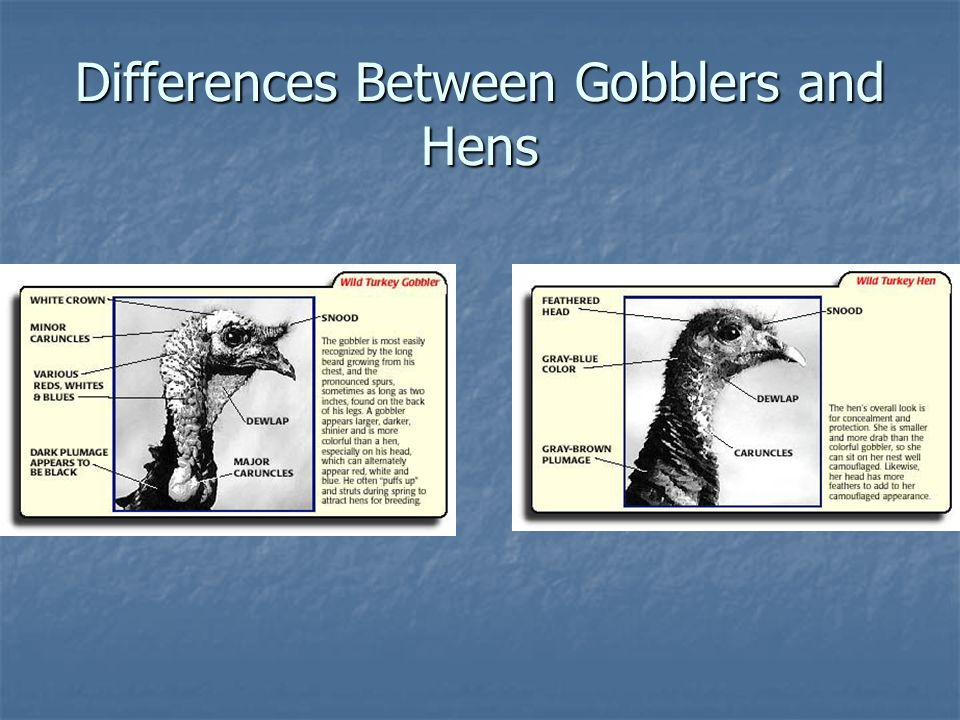 Differences Between Gobblers and Hens