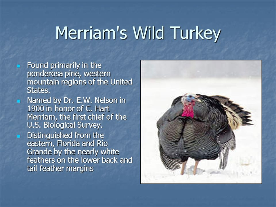 Merriam s Wild Turkey Found primarily in the ponderosa pine, western mountain regions of the United States.