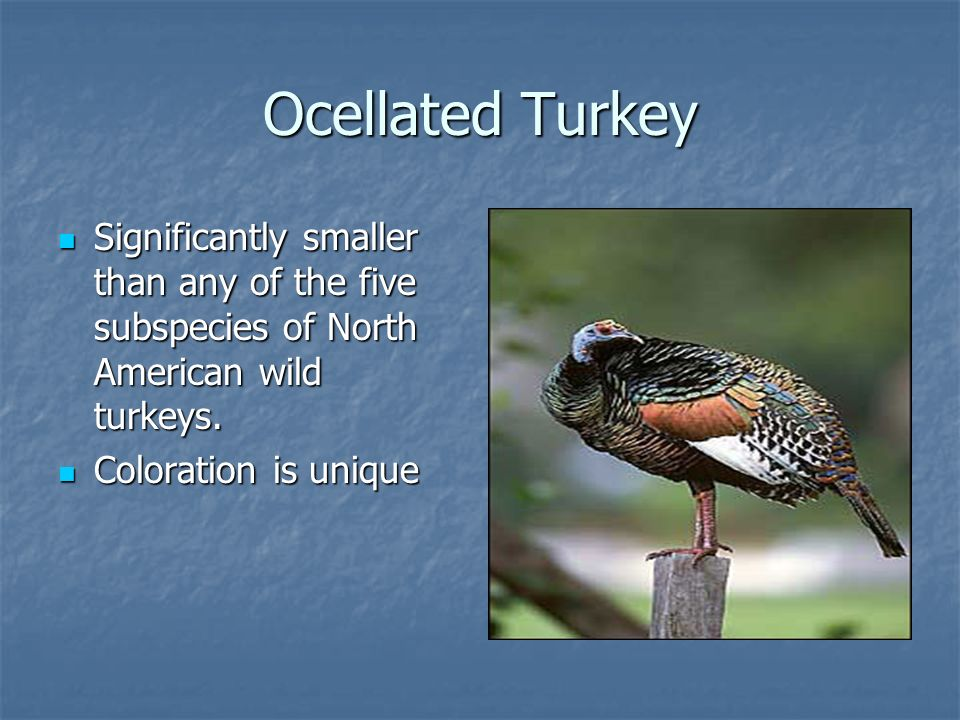 Ocellated Turkey Significantly smaller than any of the five subspecies of North American wild turkeys.