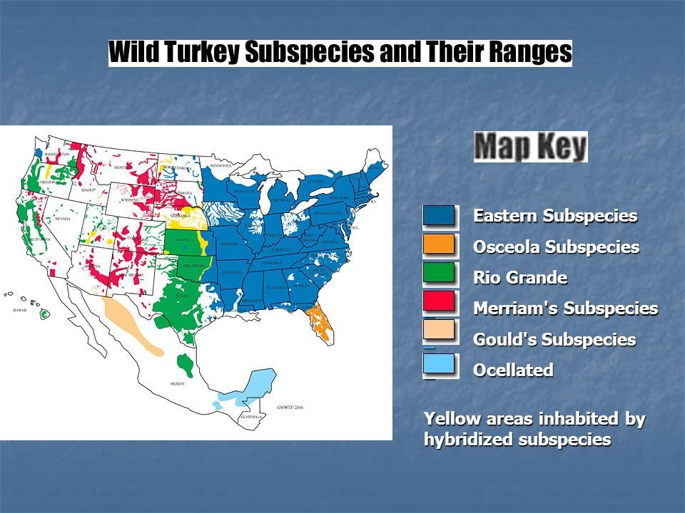 Eastern Subspecies Eastern Subspecies Osceola Subspecies Osceola Subspecies Rio Grande Rio Grande Merriam s Subspecies Merriam s Subspecies Gould s Subspecies Gould s Subspecies Ocellated Ocellated Yellow areas inhabited by hybridized subspecies
