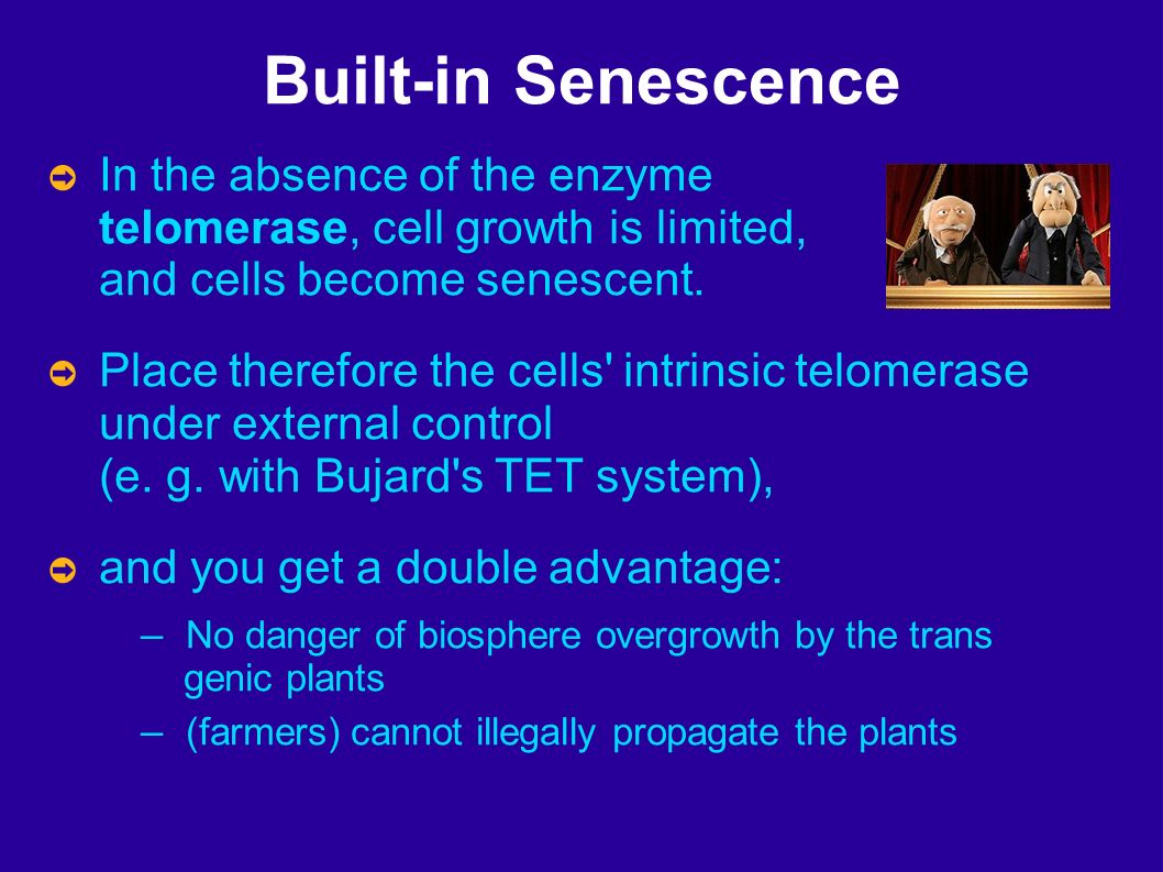 Built-in Senescence In the absence of the enzyme telomerase, cell growth is limited, and cells become senescent.