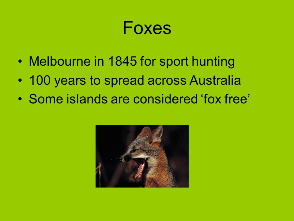 Foxes Melbourne in 1845 for sport hunting 100 years to spread across Australia Some islands are considered fox free