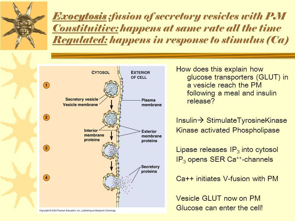 Exocytosis :fusion of secretory vesicles with PM Constituitive: happens at same rate all the time Regulated: happens in response to stimulus (Ca) How does this explain how glucose transporters (GLUT) in a vesicle reach the PM following a meal and insulin release.