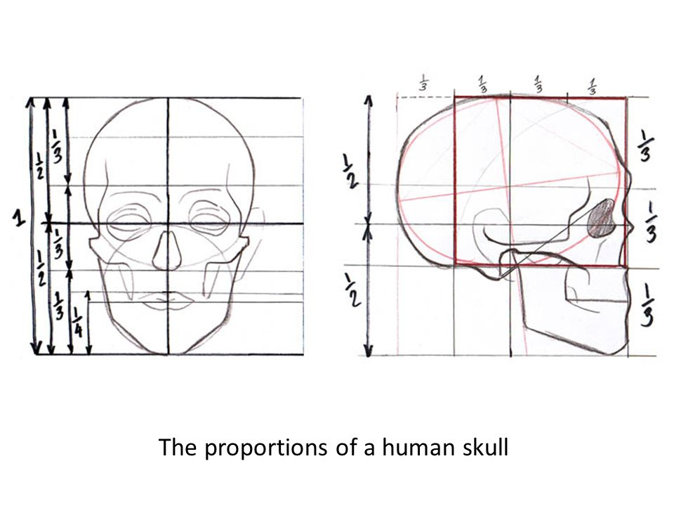 The proportions of a human skull