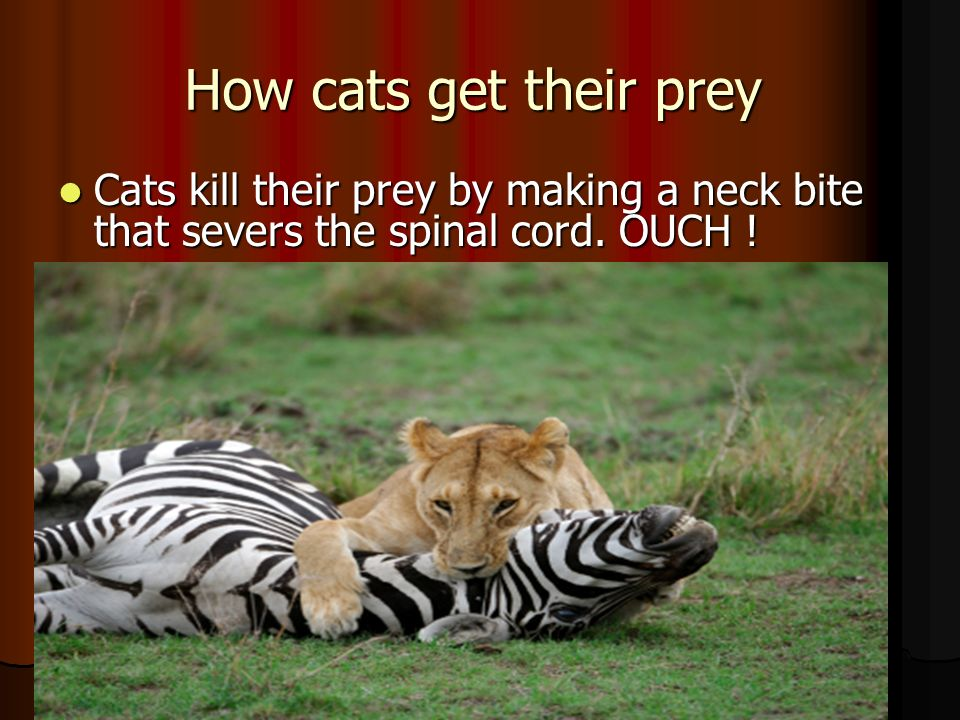 How cats get their prey Cats kill their prey by making a neck bite that severs the spinal cord.