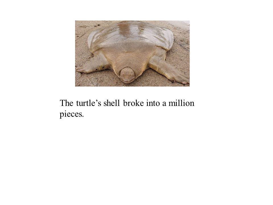 The turtles shell broke into a million pieces.