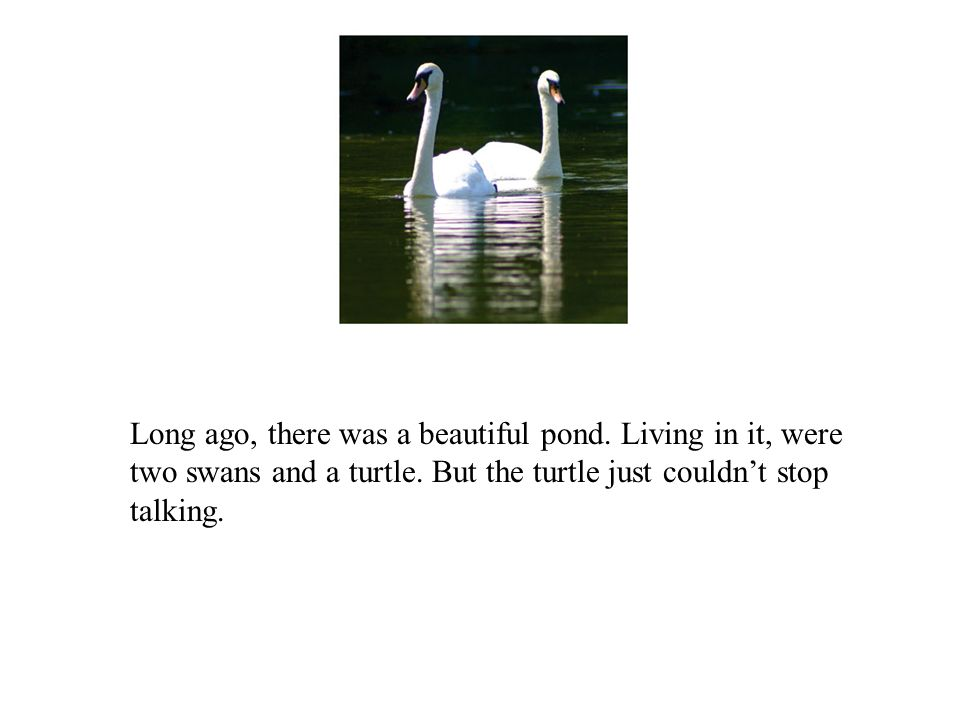 Long ago, there was a beautiful pond. Living in it, were two swans and a turtle.