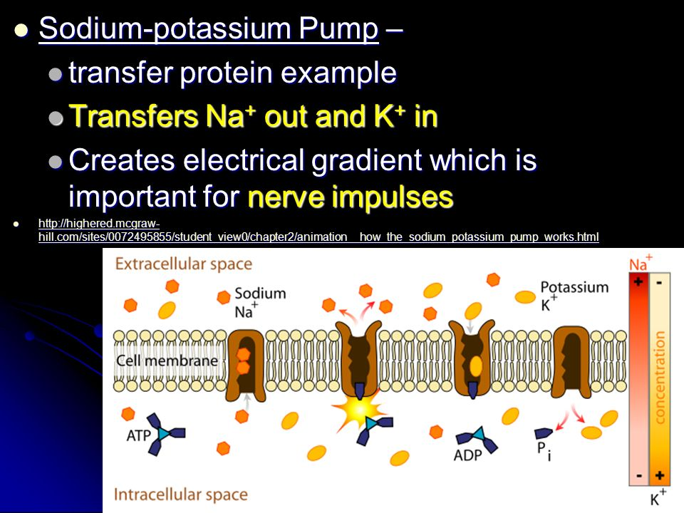 Sodium-potassium Pump – Sodium-potassium Pump – transfer protein example transfer protein example Transfers Na + out and K + in Transfers Na + out and K + in Creates electrical gradient which is important for nerve impulses Creates electrical gradient which is important for nerve impulses   hill.com/sites/ /student_view0/chapter2/animation__how_the_sodium_potassium_pump_works.html   hill.com/sites/ /student_view0/chapter2/animation__how_the_sodium_potassium_pump_works.html   hill.com/sites/ /student_view0/chapter2/animation__how_the_sodium_potassium_pump_works.html   hill.com/sites/ /student_view0/chapter2/animation__how_the_sodium_potassium_pump_works.html