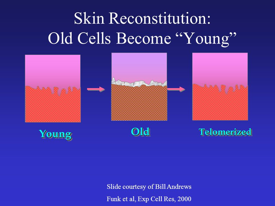 Human skin on a mouse YoungYoung TelomerizedTelomerized Skin Reconstitution: Old Cells Become Young Slide courtesy of Bill Andrews Funk et al, Exp Cell Res, 2000 OldOld