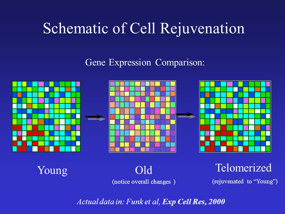 Schematic of Cell Rejuvenation Gene Expression Comparison: Actual data in: Funk et al, Exp Cell Res, ,000 10,000 genes on a chip a chip 10,000 10,000 genes on a chip a chip Young Telomerized (rejuvenated to Young) Old (notice overall changes )