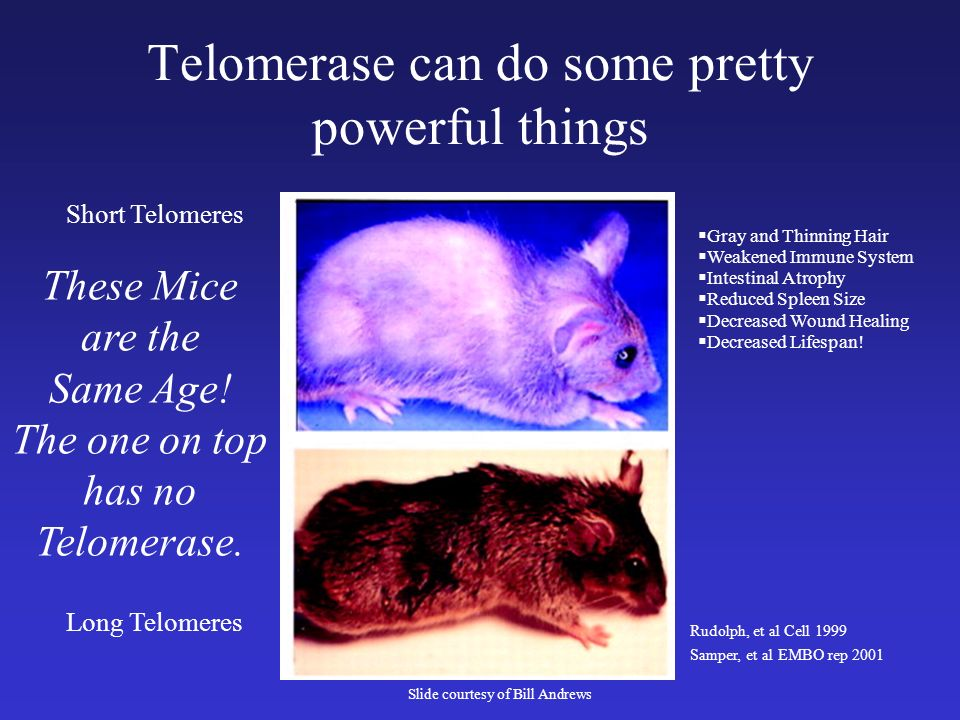 Telomerase can do some pretty powerful things Short Telomeres Long Telomeres Gray and Thinning Hair Weakened Immune System Intestinal Atrophy Reduced Spleen Size Decreased Wound Healing Decreased Lifespan.