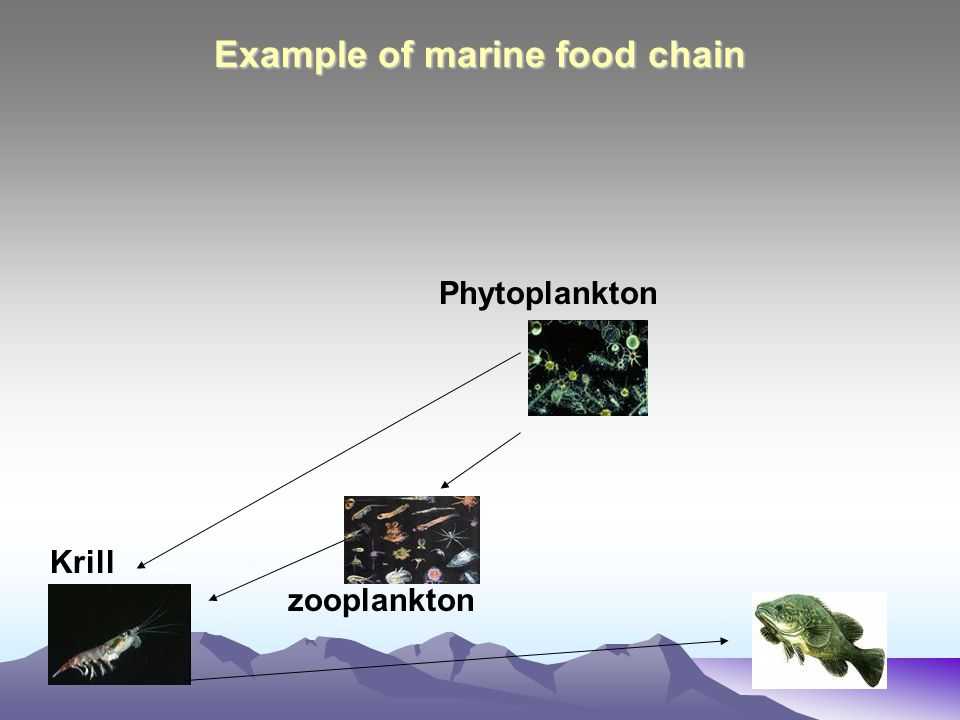 Example of marine food chain Phytoplankton Krill zooplankton