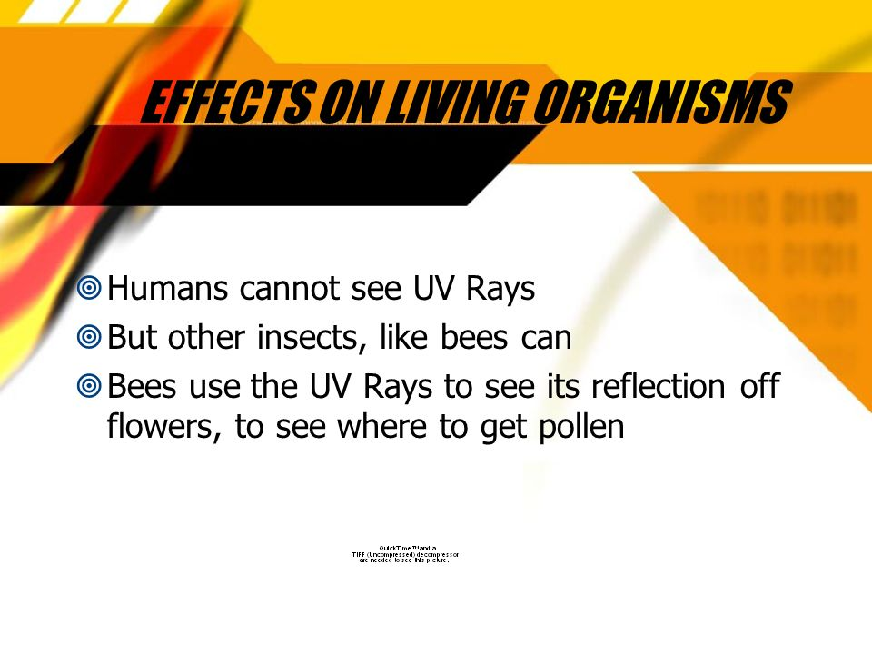 EFFECTS ON LIVING ORGANISMS Humans cannot see UV Rays But other insects, like bees can Bees use the UV Rays to see its reflection off flowers, to see where to get pollen Humans cannot see UV Rays But other insects, like bees can Bees use the UV Rays to see its reflection off flowers, to see where to get pollen