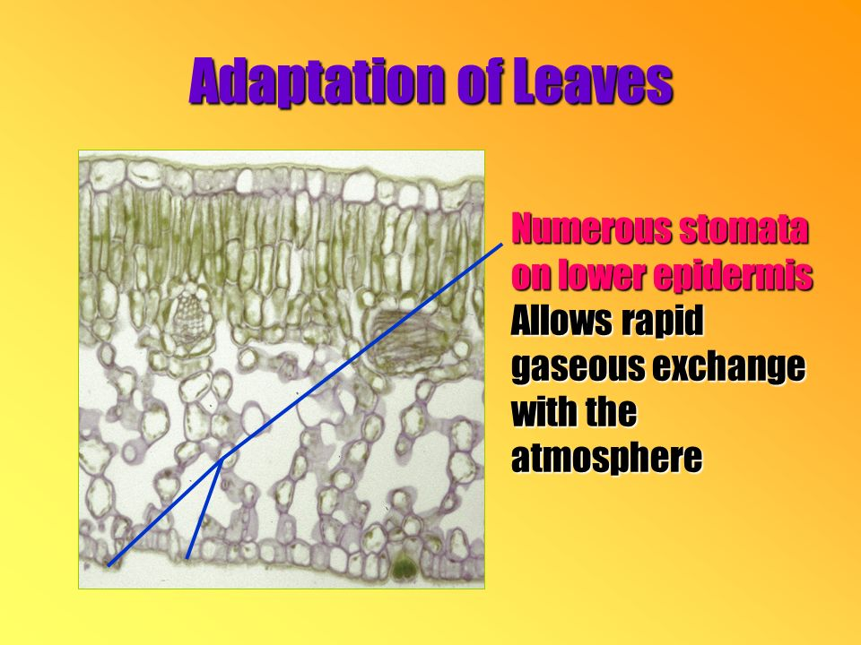 Numerous stomata on lower epidermis Allows rapid gaseous exchange with the atmosphere Adaptation of Leaves
