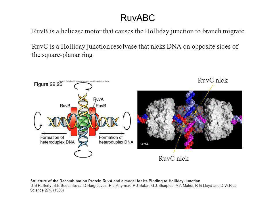 Structure of the Recombination Protein RuvA and a model for its Binding to Holliday Junction J.B.Rafferty, S.E.Sedelnikova, D.Hargreaves, P.J.Artymiuk, P.J.Baker, G.J.Sharples, A.A.Mahdi, R.G.Lloyd and D.W.Rice Science 274, (1996) RuvABC RuvB is a helicase motor that causes the Holliday junction to branch migrate RuvC is a Holliday junction resolvase that nicks DNA on opposite sides of the square-planar ring RuvC nick