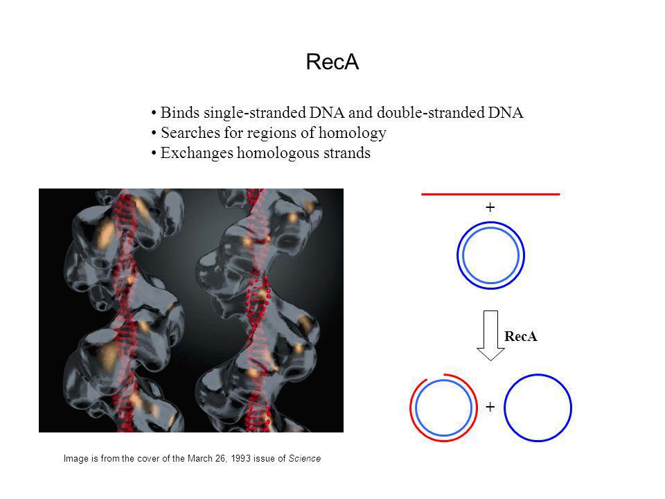RecA Binds single-stranded DNA and double-stranded DNA Searches for regions of homology Exchanges homologous strands Image is from the cover of the March 26, 1993 issue of Science RecA + +