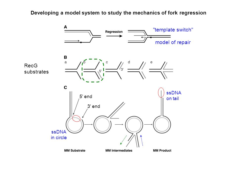 Developing a model system to study the mechanics of fork regression template switch model of repair RecG substrates 5 end 3 end ssDNA in circle ssDNA on tail