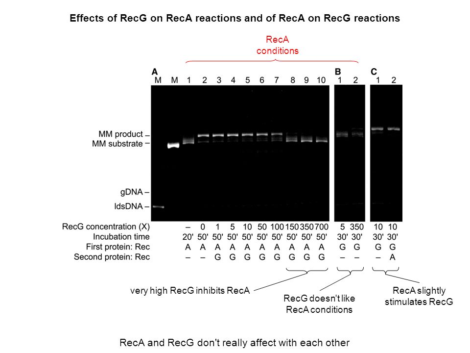 Effects of RecG on RecA reactions and of RecA on RecG reactions RecA and RecG don t really affect with each other RecA conditions very high RecG inhibits RecARecA slightly stimulates RecG RecG doesn t like RecA conditions