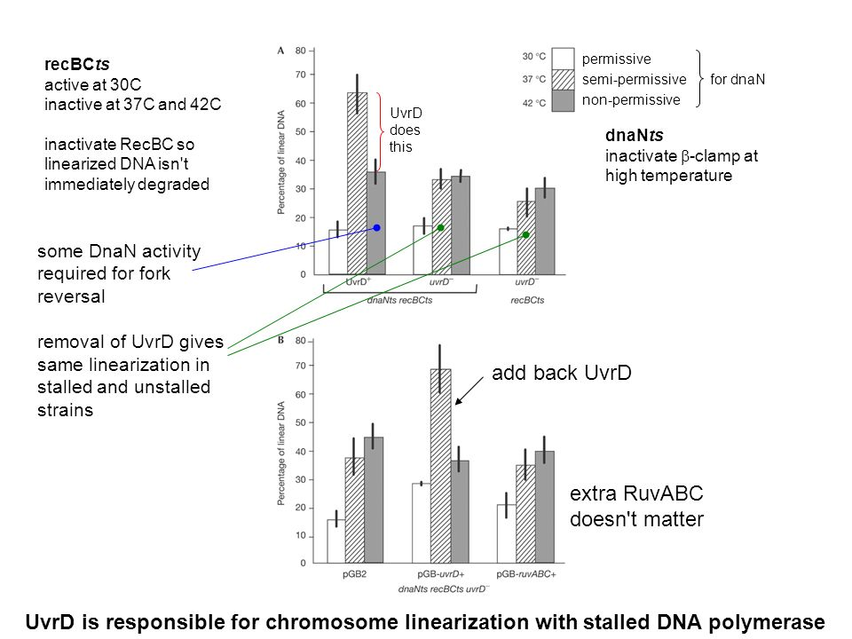 dnaNts inactivate -clamp at high temperature permissive semi-permissive non-permissive UvrD does this for dnaN recBCts active at 30C inactive at 37C and 42C inactivate RecBC so linearized DNA isn t immediately degraded add back UvrD extra RuvABC doesn t matter UvrD is responsible for chromosome linearization with stalled DNA polymerase some DnaN activity required for fork reversal removal of UvrD gives same linearization in stalled and unstalled strains