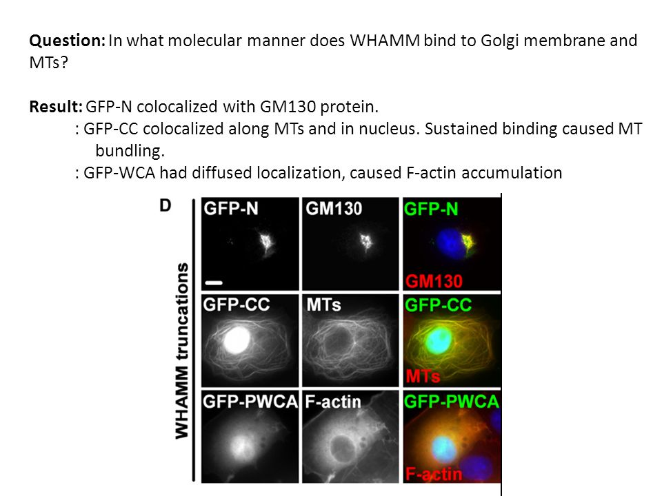 Question: In what molecular manner does WHAMM bind to Golgi membrane and MTs.