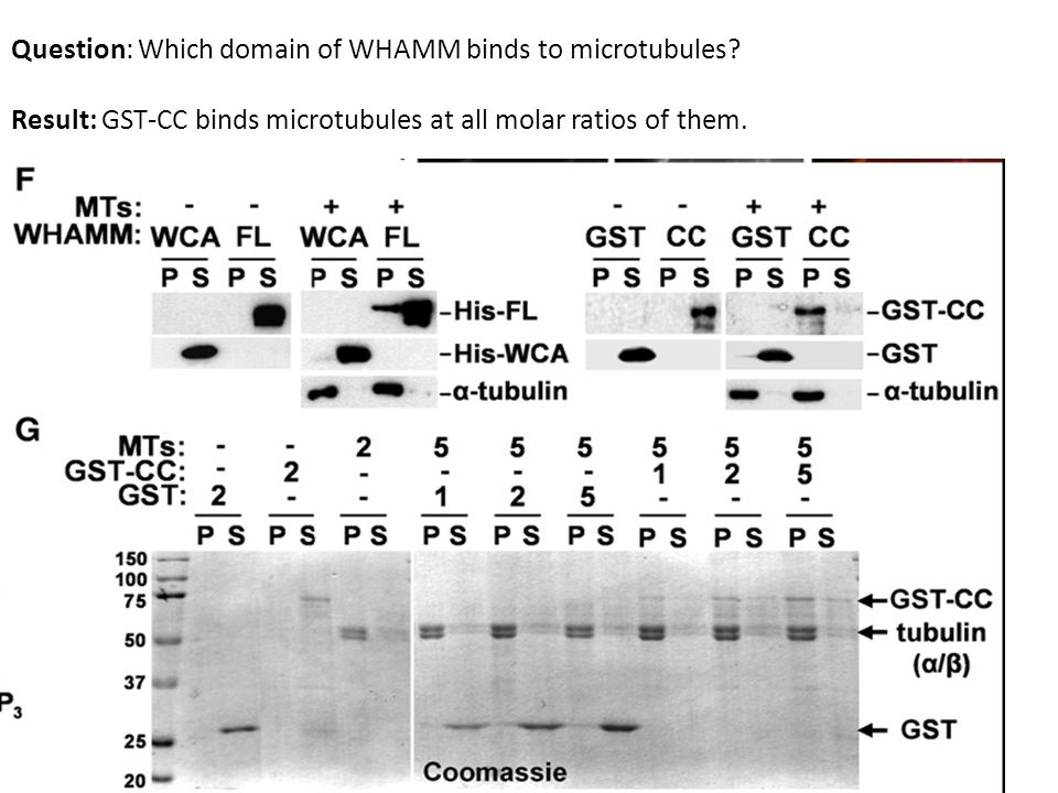 Question: Which domain of WHAMM binds to microtubules.