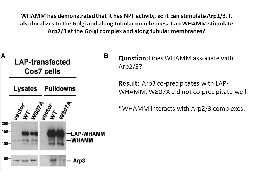 WHAMM has demonstrated that it has NPF activity, so it can stimulate Arp2/3.