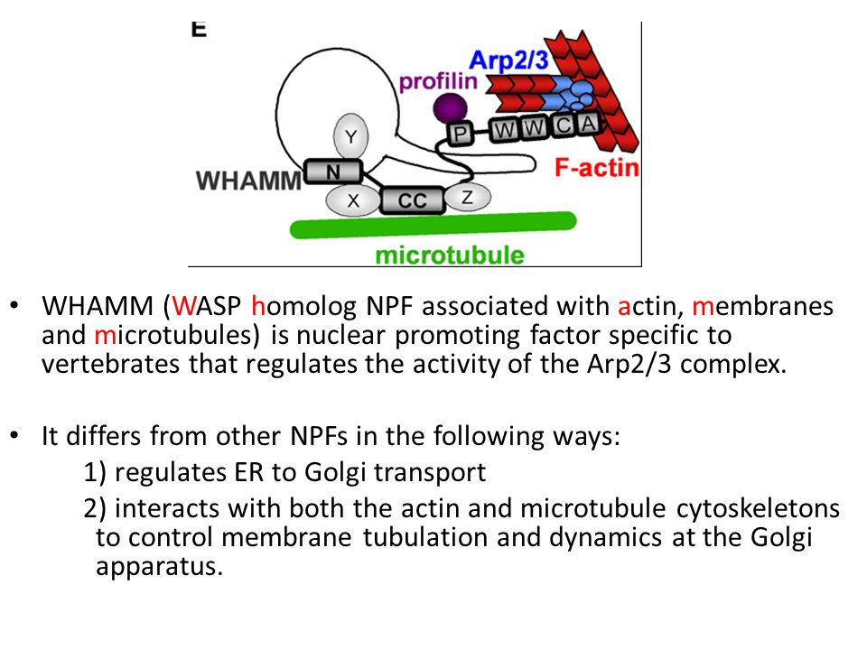 WHAMM (WASP homolog NPF associated with actin, membranes and microtubules) is nuclear promoting factor specific to vertebrates that regulates the activity of the Arp2/3 complex.