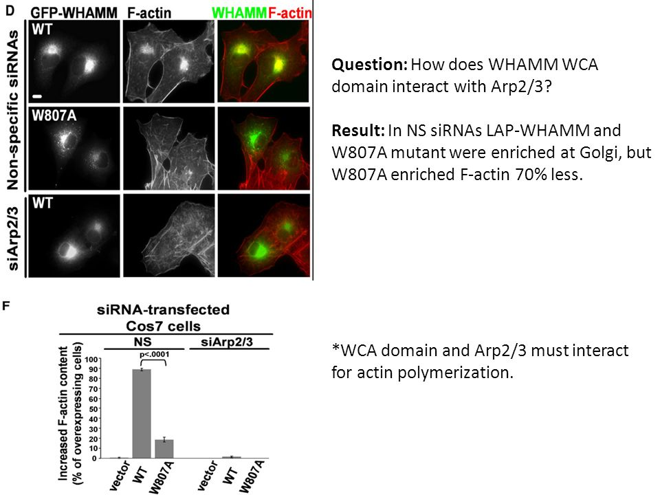 Question: How does WHAMM WCA domain interact with Arp2/3.