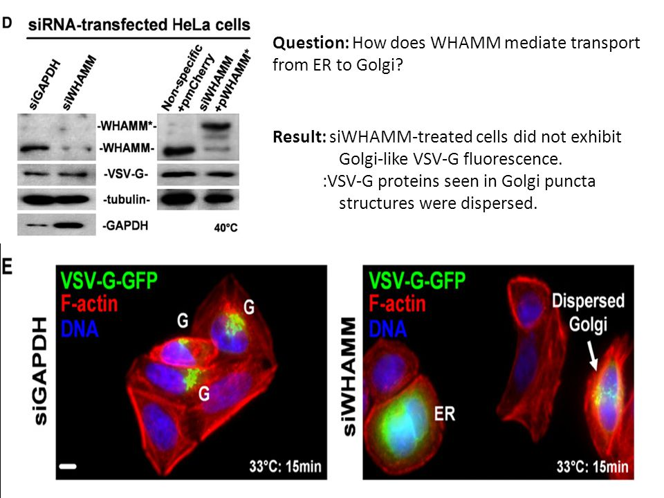 Question: How does WHAMM mediate transport from ER to Golgi.