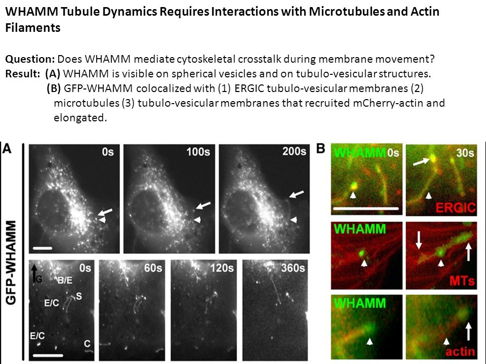 WHAMM Tubule Dynamics Requires Interactions with Microtubules and Actin Filaments Question: Does WHAMM mediate cytoskeletal crosstalk during membrane movement.