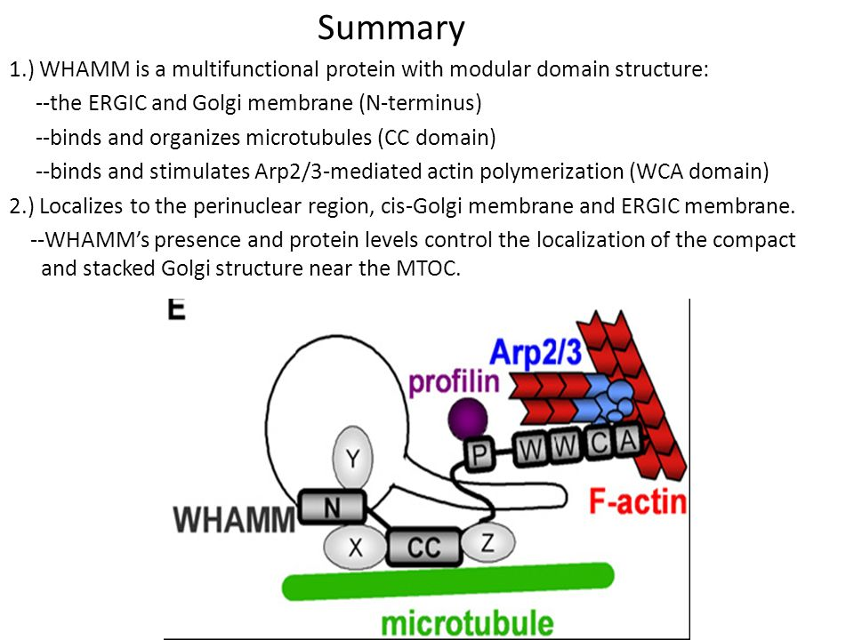 Summary 1.) WHAMM is a multifunctional protein with modular domain structure: --the ERGIC and Golgi membrane (N-terminus) --binds and organizes microtubules (CC domain) --binds and stimulates Arp2/3-mediated actin polymerization (WCA domain) 2.) Localizes to the perinuclear region, cis-Golgi membrane and ERGIC membrane.