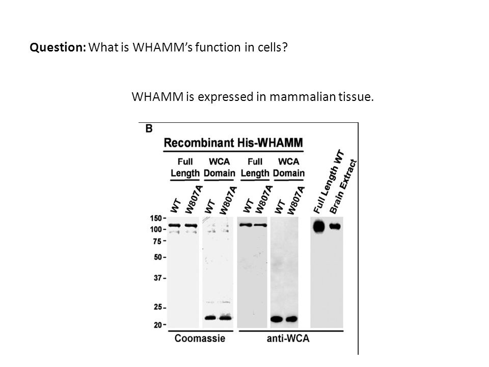 Question: What is WHAMMs function in cells WHAMM is expressed in mammalian tissue.