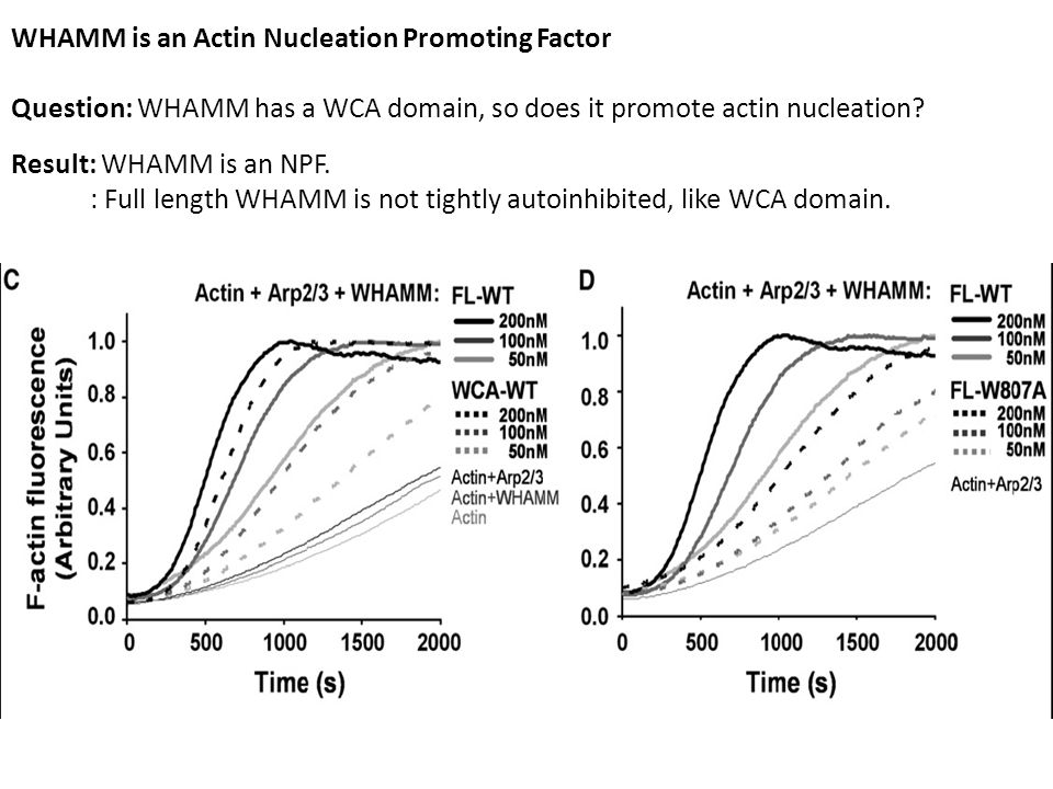 WHAMM is an Actin Nucleation Promoting Factor Question: WHAMM has a WCA domain, so does it promote actin nucleation.