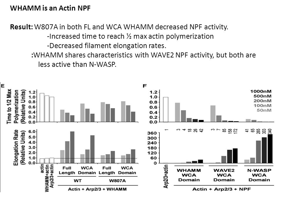 WHAMM is an Actin NPF Result: W807A in both FL and WCA WHAMM decreased NPF activity.