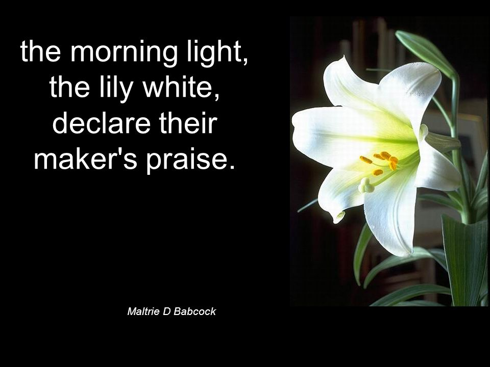 the morning light, the lily white, declare their maker s praise. Maltrie D Babcock ©