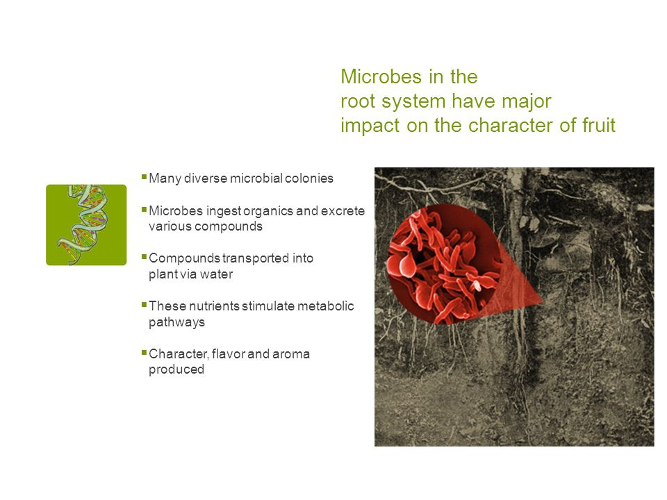 Microbes in the root system have major impact on the character of fruit Many diverse microbial colonies Microbes ingest organics and excrete various compounds Compounds transported into plant via water These nutrients stimulate metabolic pathways Character, flavor and aroma produced