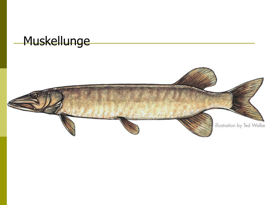Fish Anatomy Diagram Of A Muskie - Car Wiring Diagrams Explained •